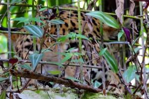 jaguar hiding