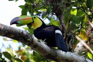 Male Keel Billed Toucan