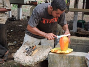 DSCN1543 our free papaya being cut up