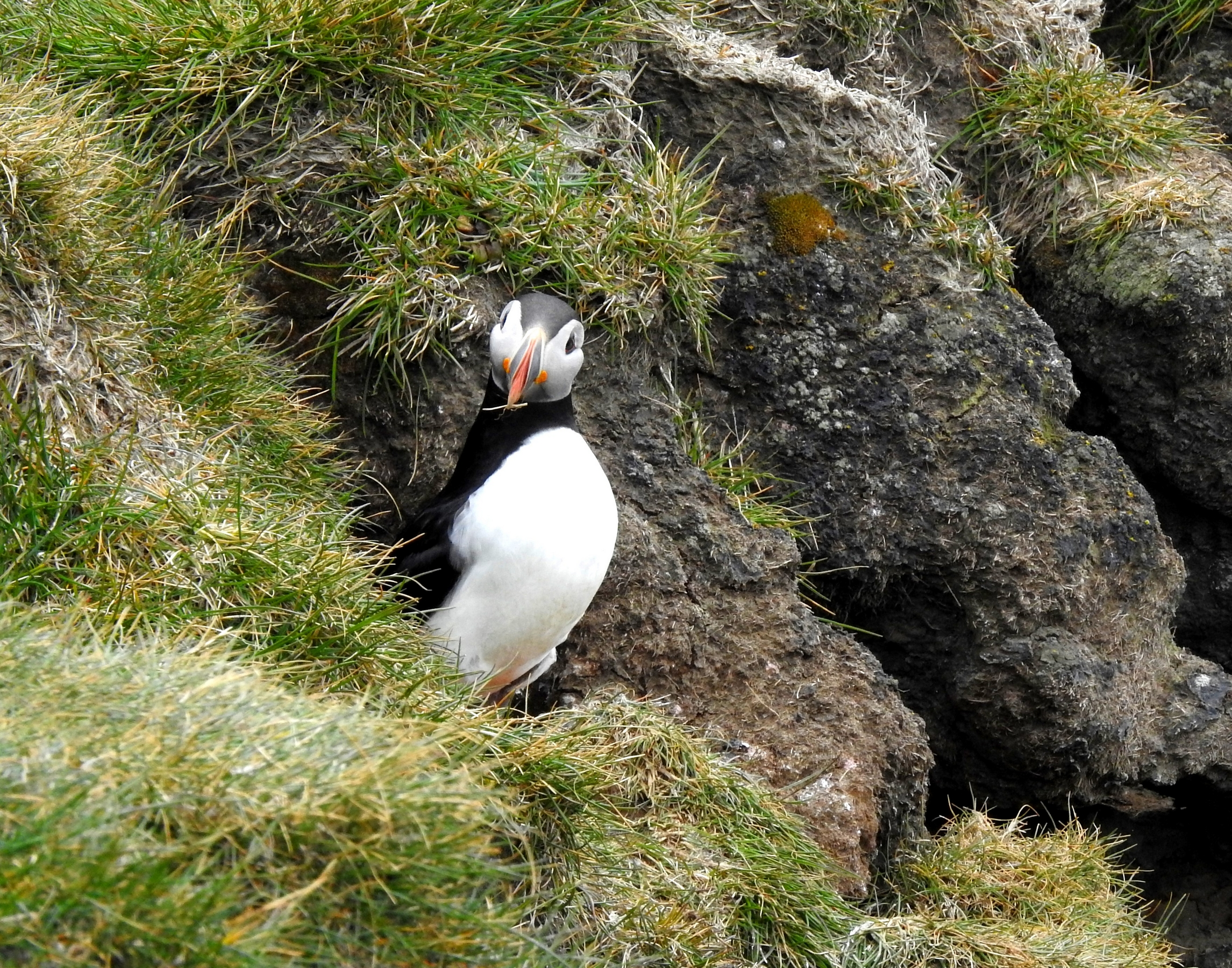 puffin pops out to see what's happening