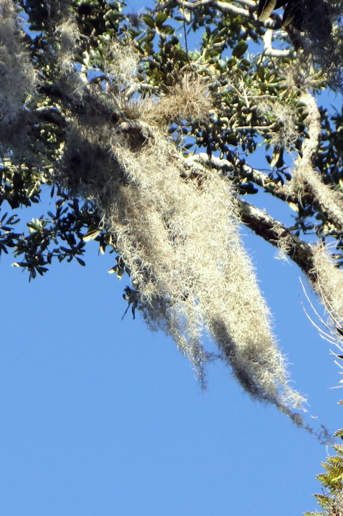 Calder Escapes - DSC07239 close up of Spanish Moss